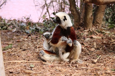 A lemur and her baby!